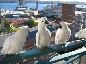 Cockatoos 300x225 Keeping Pets in Strata Buildings
